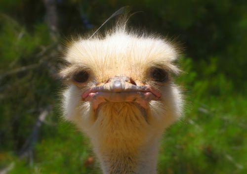ostrich animal nature
