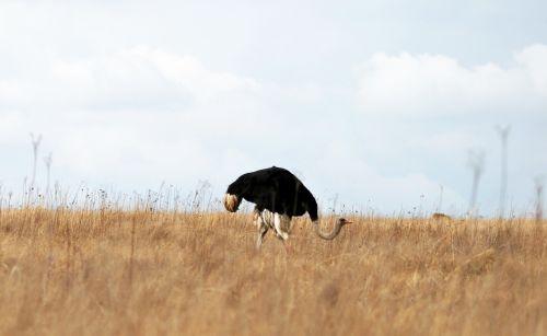 Ostrich In The Veld