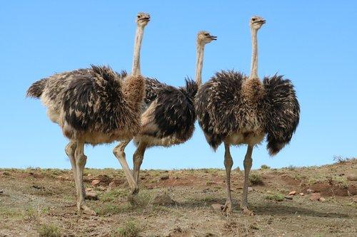 ostriches  bird  bouquet