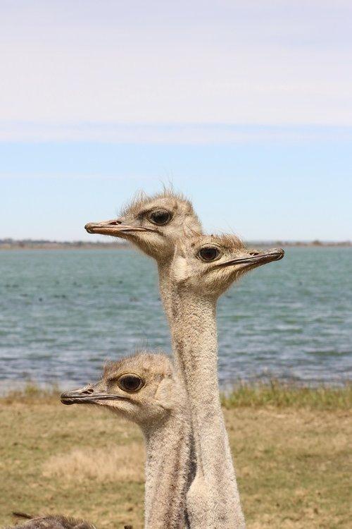 ostriches  bird  flightless bird