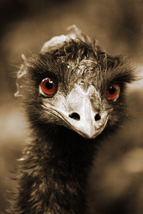 afrika, gyvūnas, snapas, paukštis, įdomu, akis, veidas, juokinga, galva, atrodo, žiūri, kaklas, strutis, portretas, žvilgsnis, laukiniai, laukinė gamta, atrodo strausai