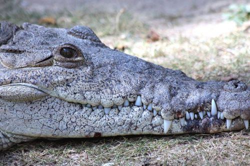 ostrorylyj crocodile,crocodylus acutus,crocodile,reptile,head,krupnyj plan,crocodile snout,lies,teeth,eyes,dangerous reptile,animal,predator,dangerous animal,gray background
