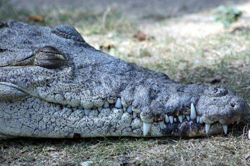 ostrorylyj crocodile crocodylus acutus nature