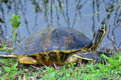 tortoise everglades national park florida