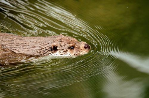 otter water swim