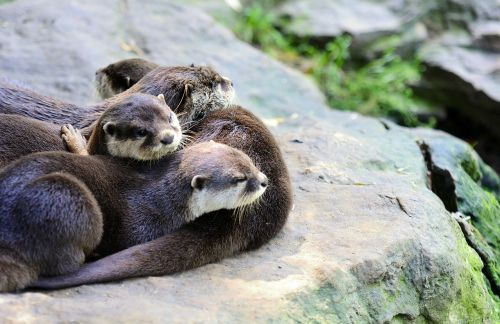 otter small-clawed oriental