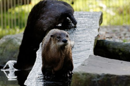 otter board water