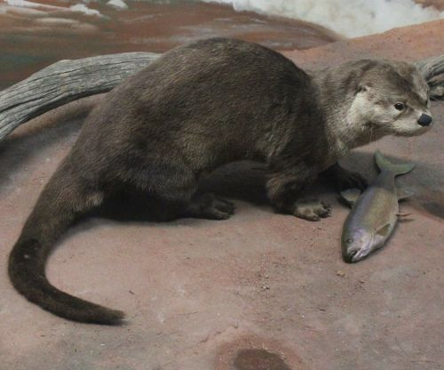 otter fish-eater mammal