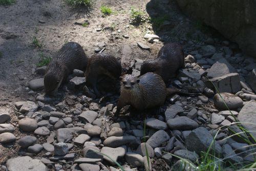 otters aquatic mammals polish mammals
