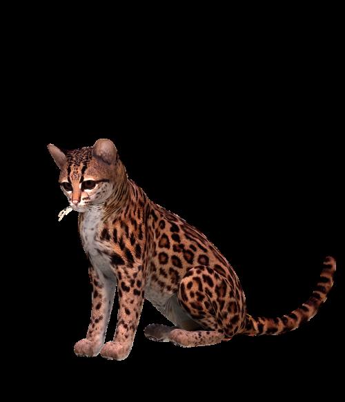 otzelot cat spotted