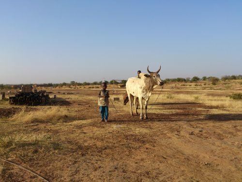 ouahigouya burkina faso cow