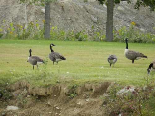 Geese 2