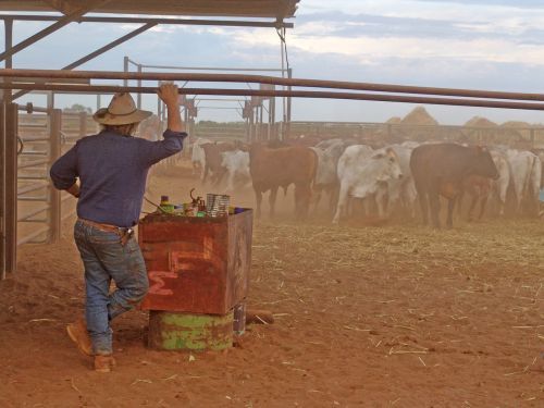 outback cattle drover