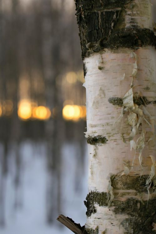 outdoors,tree,wood,nature,winter,the finnish nature,nature photo,snow,birch,evening