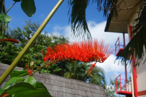 outdoors  suriname  flower