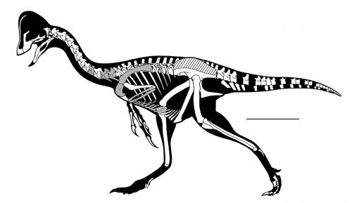 oviraptorosaurian skeleton dinosaur