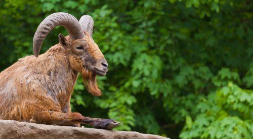 Ovis Sheep