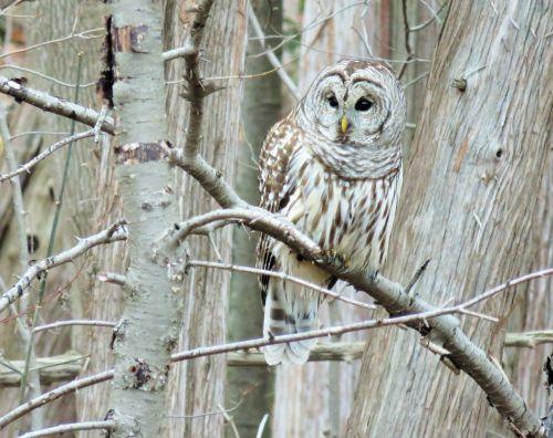 owl barred owl barred