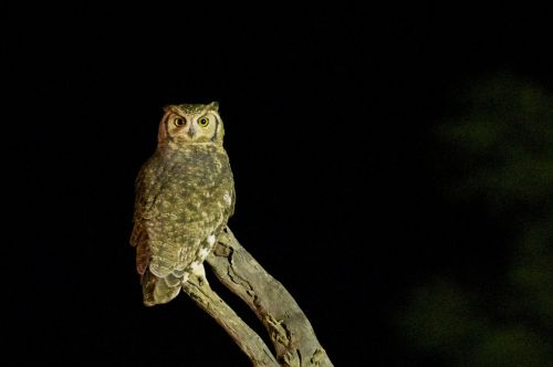 owl bird wildlife