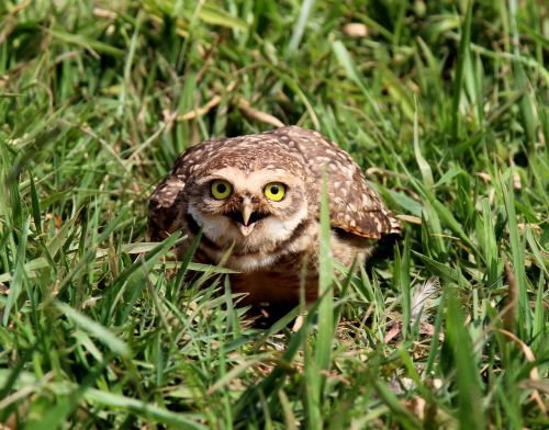 owl burrowing owl mad