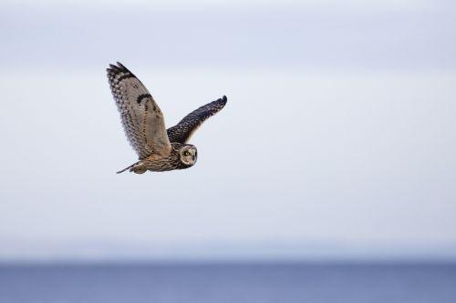 owl short eared owl bird