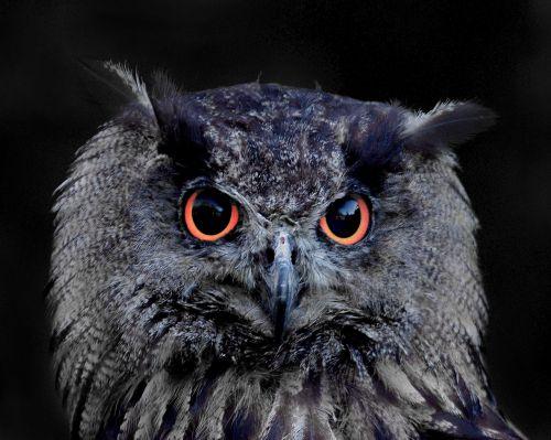 owl eagle owl animal