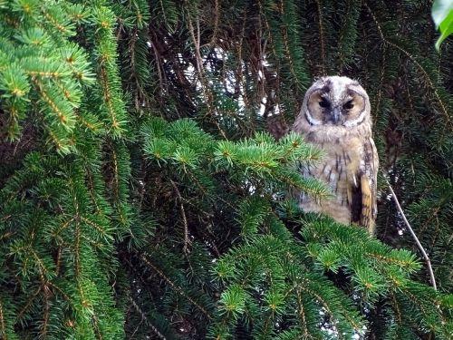 owl long eared owl tawny owl