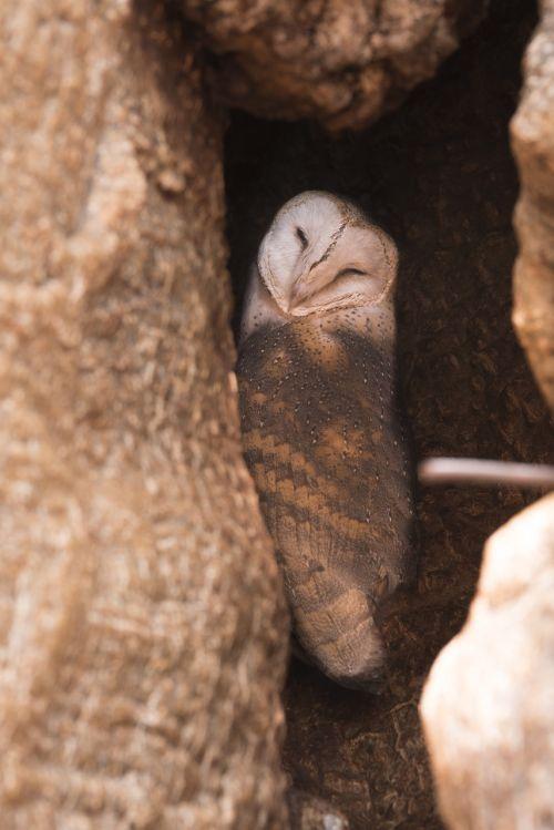 owl animal wildlife