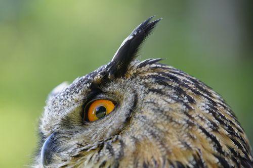 owl real bird