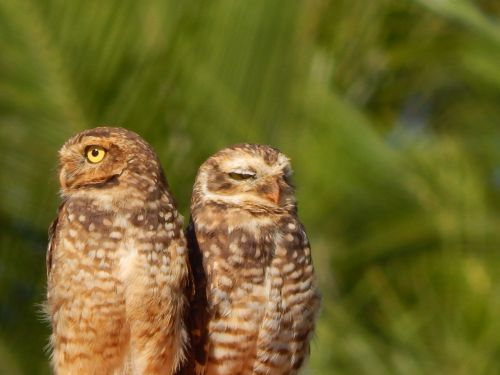 owl burrowing owl bird
