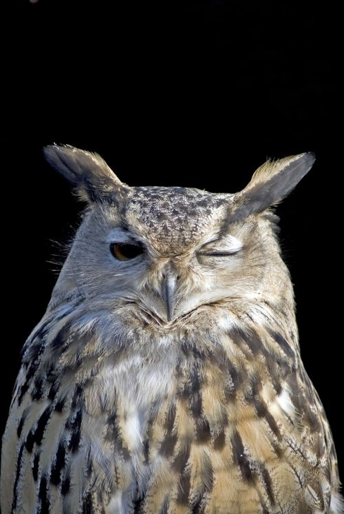 owl wink bird