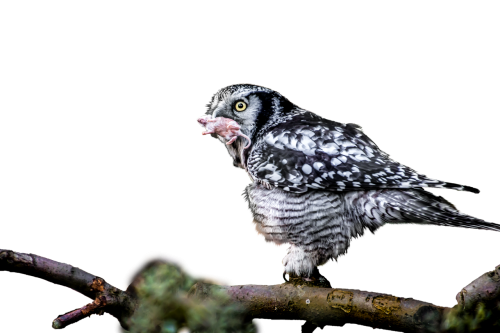 owl eat hunt