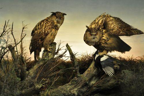 owl owls sunset
