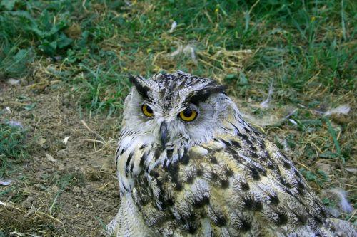 owl bird wisdom