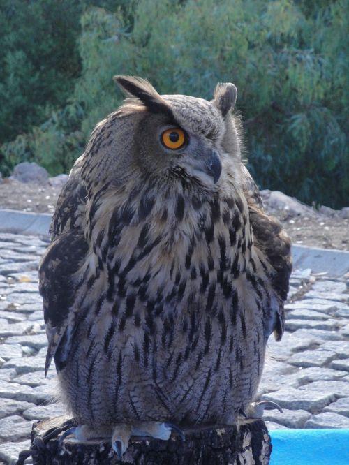 owl eagle owl ave