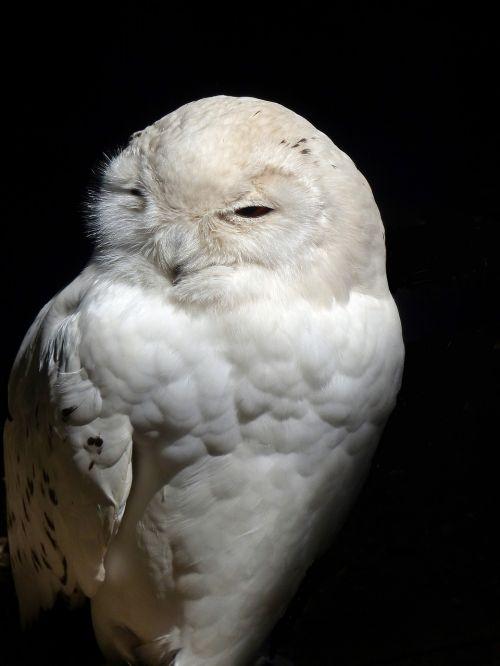 owl barn owl raptor