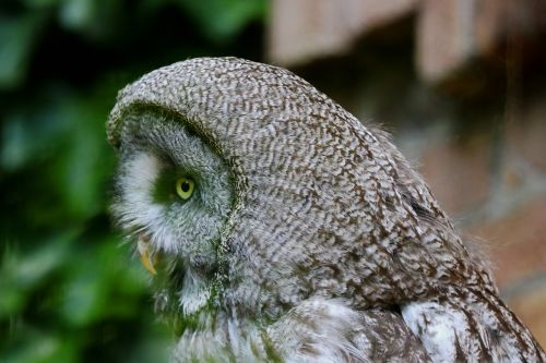 owl waldeule wild animal