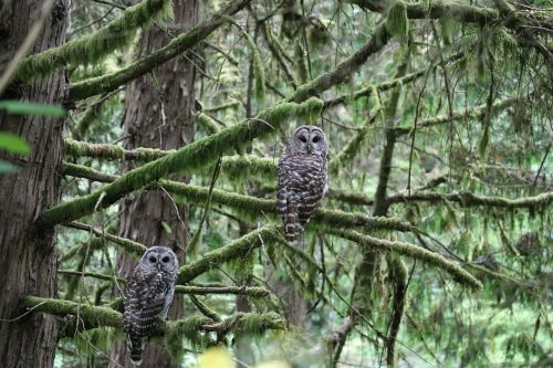owl oregon tree