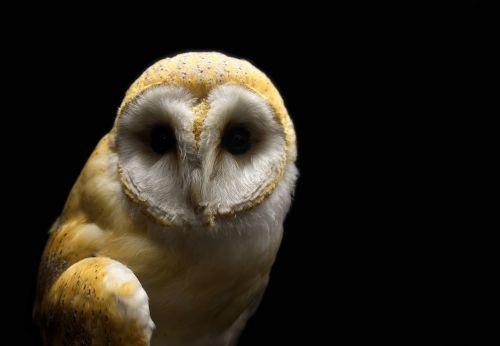 owl barn barn owl