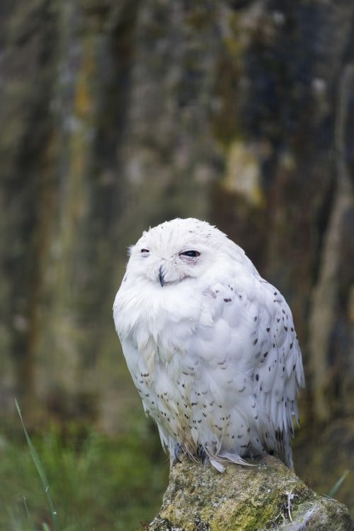 owl snowy owl snow owl