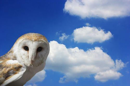 owl eagle owl barn owl