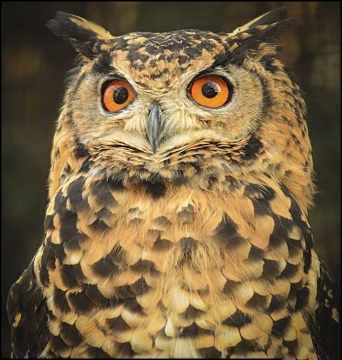 owl wise eyes