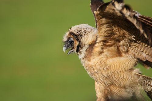 owl little brown owl juvenile owl