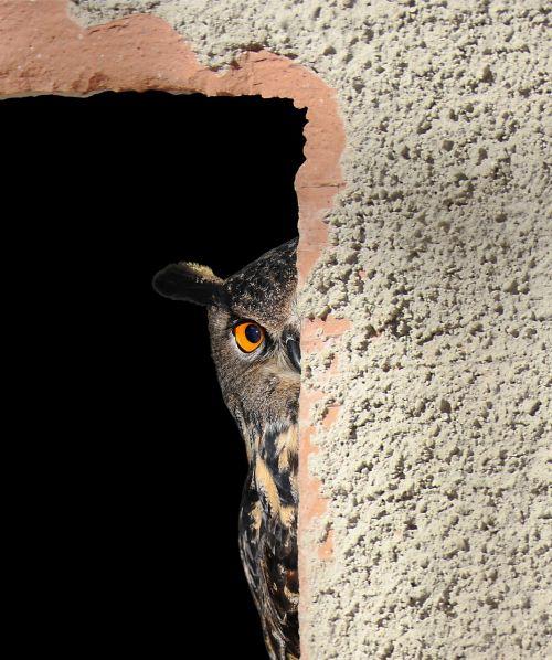 owl hiding peeking