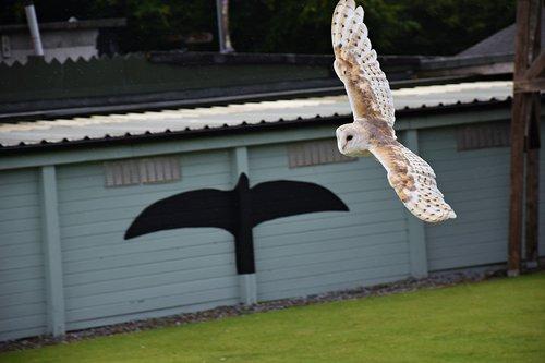 owl  raptor  bird