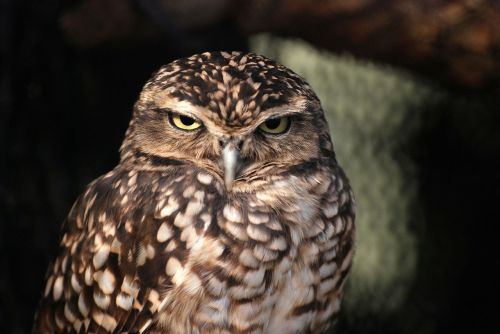 owl owlet nocturnal