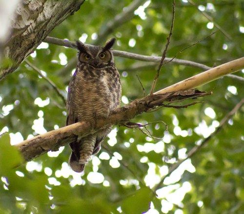 owl  branch  tree