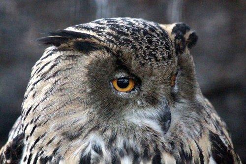 owl  western siberian eagle owl  bubo bubo sibiricus were