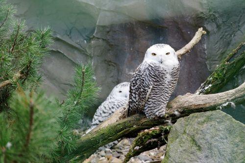 owl snowy owl branch