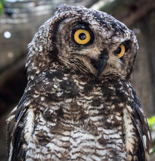 owl  wisdom  nature